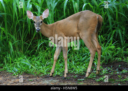 Young male White-tailed deer (Odocoileus virginianus). Tropical dry forest, Santa Rosa National Park, Guanacaste, - Stock Photo