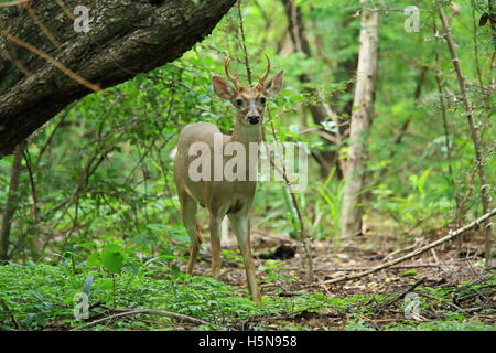 Male White-tailed deer (Odocoileus virginianus). Tropical dry forest, Santa Rosa National Park, Guanacaste, Costa - Stock Photo