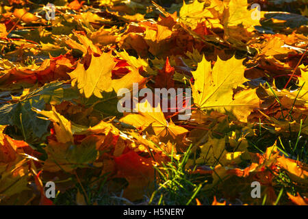 Fallen yellow maple leaves on a frosty morning on the grass. - Stock Photo