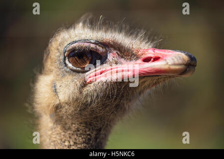 Close up view of an Ostrich on nice blurred background - Stock Photo