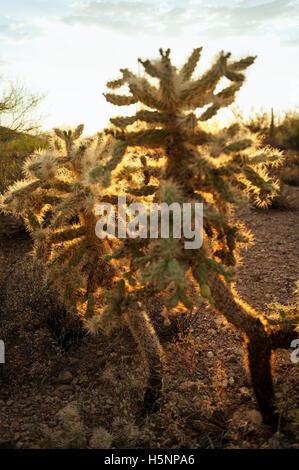 Cylindropuntia fulgida or 'Jumping Cactus, found in the desert Southwest USA. - Stock Photo