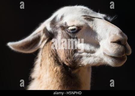 Portrait of Llama on black background - Stock Photo