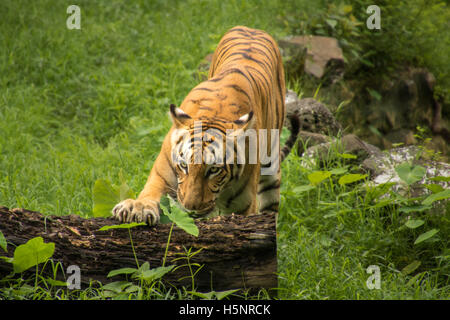 Bengal tiger rests his paw on a fallen tree trunk at a tiger reserve in India - Stock Photo