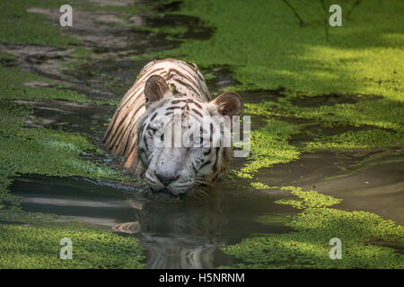 White Tiger in water of a swamp facing straight. White Bengal Tiger close up shot. - Stock Photo