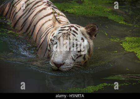 Half bengal tiger half cat