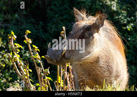 The common warthog stopping and staring at you, showing off his side view. - Stock Photo