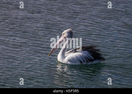Australian pelican (Pelecanus conspicillatus) swimming in rippled water - Stock Photo