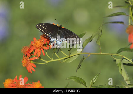 Black Swallowtail (Papilio polyxenes), adult feeding on Mexican flame vine (Senecio confusus), Hill Country, Texas, - Stock Photo