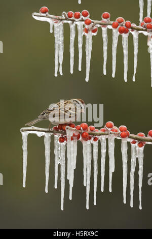 Chipping Sparrow (Spizella passerina), adult perched on icy branch of Possum Haw Holly (Ilex decidua) with berries, - Stock Photo