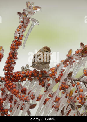 Chipping Sparrow (Spizella passerina), adult perched on icy branch of  Yaupon Holly (Ilex vomitoria) with berries, - Stock Photo