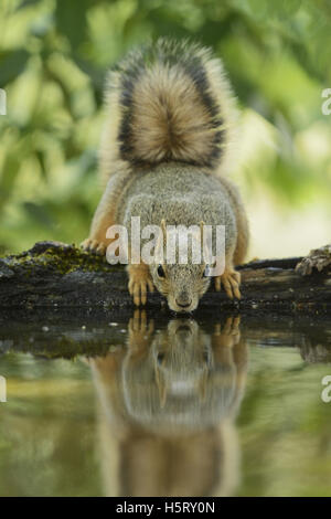 Eastern Fox Squirrel (Sciurus niger), adult drinking, Hill Country, Texas, USA - Stock Photo