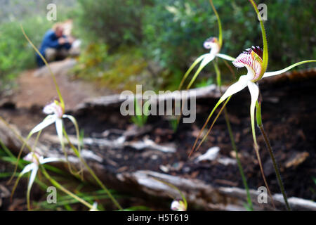 Common white spider orchids (Caladenia longicauda) beside bushwalking track, Serpentine National Park, Perth, Western - Stock Photo