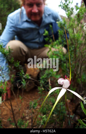 Bushwalker looking at Common white spider orchid (Caladenia longicauda), Serpentine National Park, Perth, Western - Stock Photo