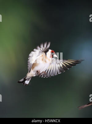 Goldfinch, Carduelis carduelis, flying - Stock Photo