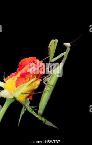 Green Praying Mantis, Mantis religiosa, sitting on a rosebud isolated on black in its typical pose, waiting for - Stock Photo