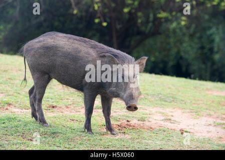 wild boar, Sus scrofa, Yala National Park, Sri Lanka - Stock Photo