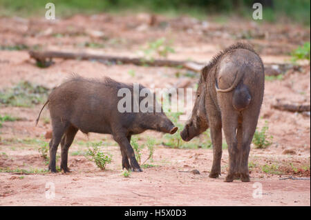 Wild boar (Sus scrofa), Yala National Park, Sri Lanka - Stock Photo