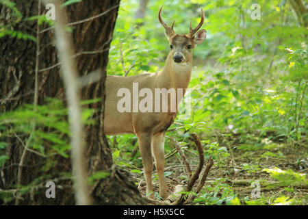 Male White-tailed deer (Odocoileus virginianus). Tropical dry forest, Santa Rosa National Park, Guanacaste, Costa - Stock Photo