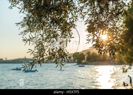 Olive trees, sea and sunset. - Stock Photo