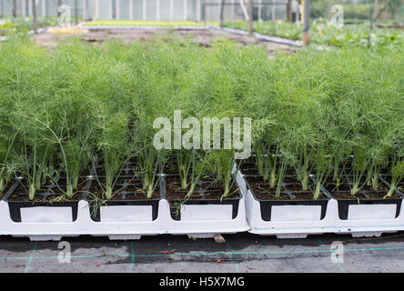 Dill in pots in greenhouse - Stock Photo