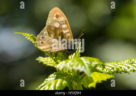 Side view of a speckled wood butterfly, Pararge aegeria. Resting on a leaf in a dark forest with open wings lit - Stock Photo
