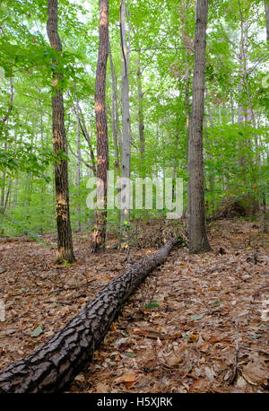 Solitary fallen tree seen after a heavy storm in the wilderness of a forest in New Hampshire, United States. - Stock Photo