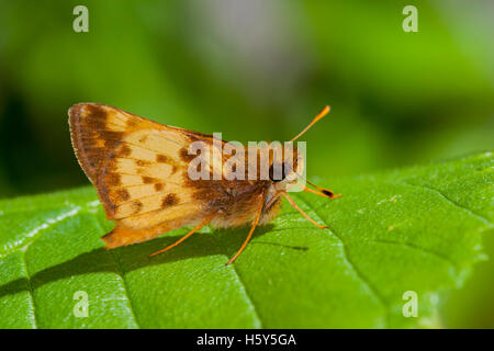 Zabulon Skipper  Poanes zabulon  Roaring River State Park, Barry County, Missouri, USA 16 May     Adult Male    - Stock Photo