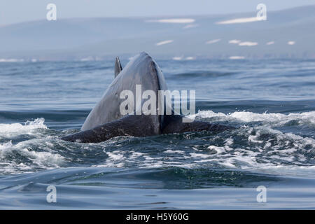 Humpback Whale before diving into the water on the background of the shore - Stock Photo
