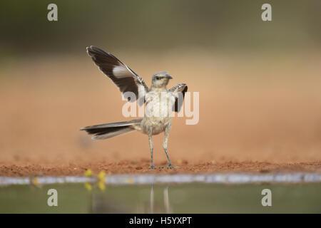 Northern Mockingbird (Mimus polyglottos), immature waving wing, Rio Grande Valley, South Texas, Texas, USA - Stock Photo