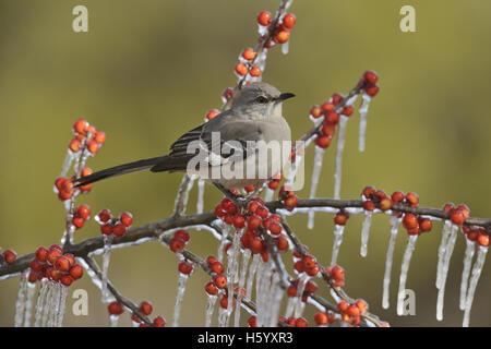 Northern Mockingbird (Mimus polyglottos), adult perched on icy branch of Possum Haw Holly (Ilex decidua) with berries, - Stock Photo