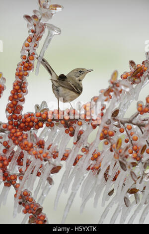 Pine Warbler (Dendroica pinus), immature female perched on icy branch of Yaupon Holly (Ilex vomitoria) with berries, - Stock Photo