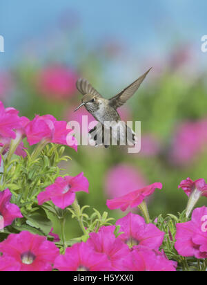 Ruby-throated Hummingbird (Archilochus colubris), young male in flight feeding on Petunia  flowers, Hill Country, - Stock Photo