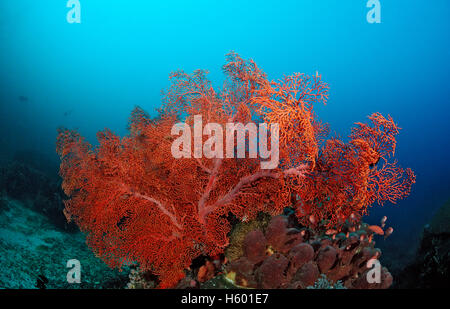 Red Giant Sea Fan (Gorgonaria sp.), Indian Ocean, Indonesia, Southeast Asia - Stock Photo