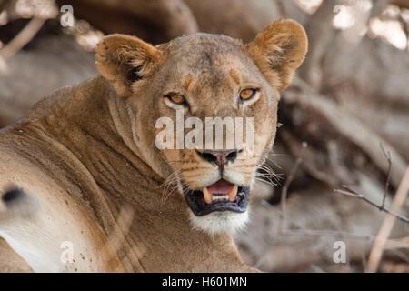 Lioness (Panthera leo), Chobe National Park, Botswana, Africa - Stock Photo