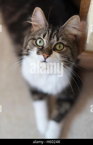 A pretty cat looks up at the camera while lying down on the carpet. - Stock Photo
