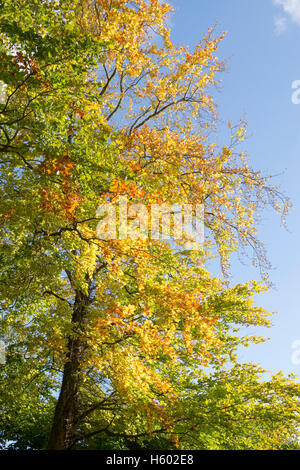 Fagus sylvatica. Beech tree with autumn foilage in the cotswold countryside. Gloucestershire, England - Stock Photo