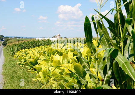 Crops of tobacco and sweetcorn growing in fields on an Amish farm in Lancaster County, Pennsylvania - Stock Photo