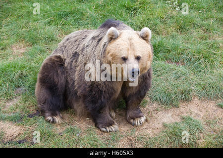 A Brown Bear in Captivity Ursus arctos Kodiak bear - Stock Photo