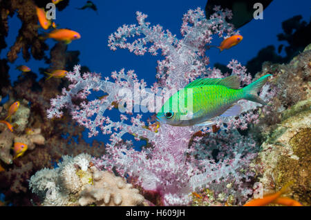 Blue-green chromis (Chromis viridis) swimming past soft coral (Dendronephthya sp).  Egypt, Red Sea. - Stock Photo