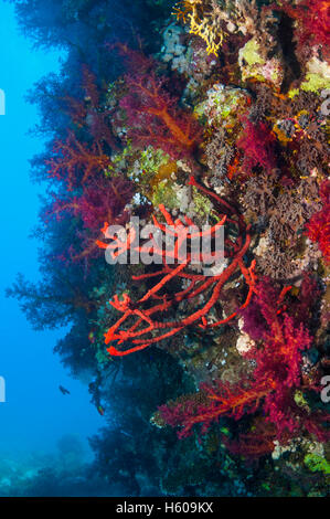 Red rope sponge [Amphimedon compressa] and soft corals [Dendronepthya sp.] on reef wall.  Egypt, Red Sea. - Stock Photo