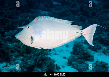 Bluespine surgeonfish [Naso unicornis].  Egypt, Red Sea. - Stock Photo