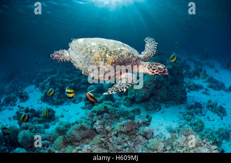Hawksbill turtle (Eretmochelys imbricatta) swimming over coral reef with shafts of sunlight.  Egypt, Red Sea. - Stock Photo