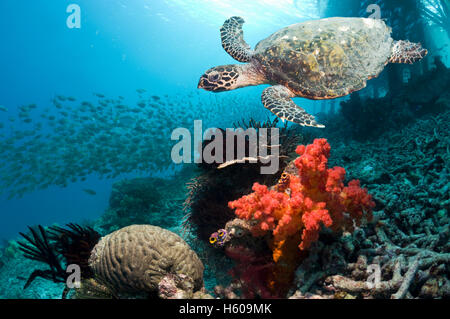 Hawksbill turtle (Eretmochelys imbricata) swimming over coral reef with soft coral.  Misool, West Papua, Raja Ampat, - Stock Photo
