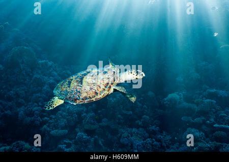 Hawksbill turtle (Eremochelys imbricata) with rays of sunshine.  Egypt, Red Sea. - Stock Photo