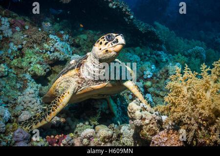 Hawksbill turtle (Eremochelys imbricata).  Egypt, Red Sea. - Stock Photo
