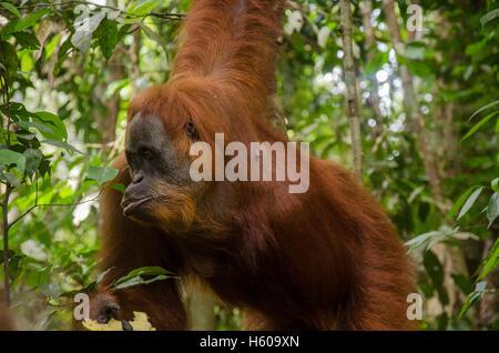 Sumatran Orang Utan - Stock Photo