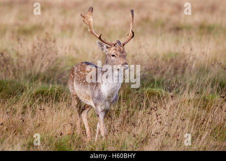 Fallow deer Dama dama young buck walking towards viewer, taken early morning during the rut at Petworth,West Sussex - Stock Photo