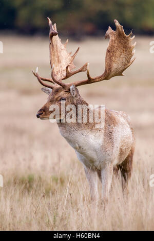 Fallow deer Dama dama buck standing, taken early morning during the rut at Petworth,West Sussex England in October - Stock Photo