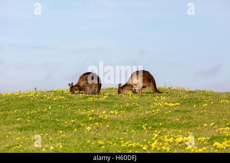 Pair of grey kangaroos on kangaroo island, south australia - Stock Photo