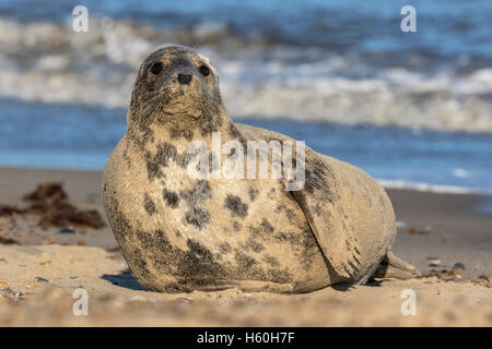 Atlantic Grey Seal - Stock Photo